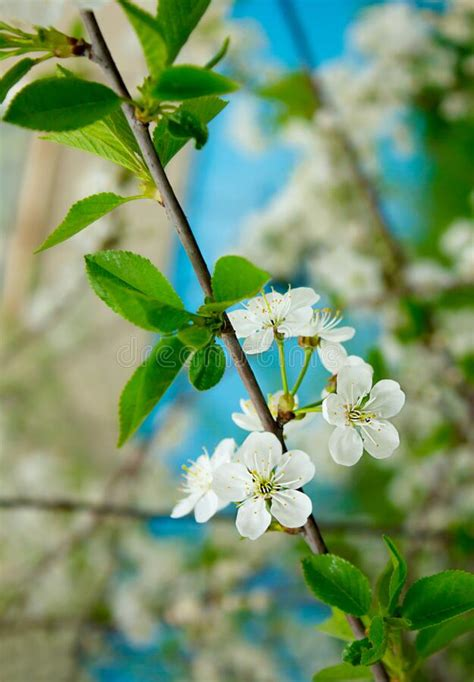 Cherry Blossom In Spring Beautiful White Flowers On The