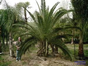 palm trees of houston prices palm tree prices palm tree specials