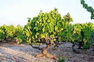 Agrisoil analisi terreno acqua nutrizione uva da tavola vite concimazione malattie