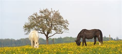 husten beim pferd akuter chronischer und allergischer