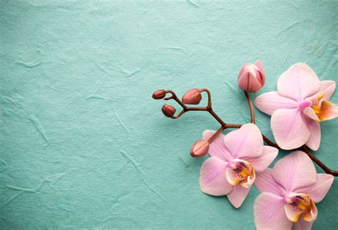 shop pink orchid   background wallpaper  zen theme