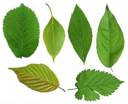 Leaf Leaves Clipart Elm March Transparent Week