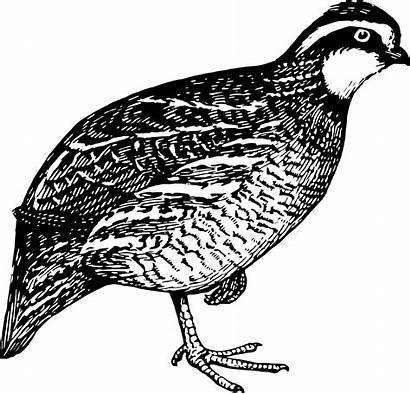 Quail Partridge Clipart Clip Svg Transparent Hunting