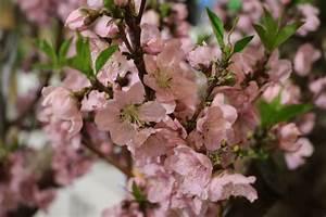 Wann Müssen Apfelbäume Geschnitten Werden : pfirsichbaum schneiden notwendiger schnitt f r die ~ Lizthompson.info Haus und Dekorationen