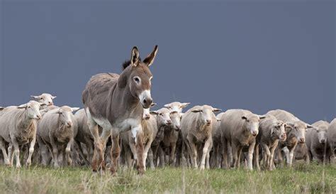 protect  flock  guard donkeys hobby farms