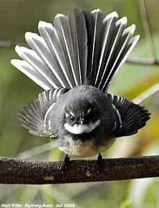117 best images about Tuis / fantails for tattoo ...