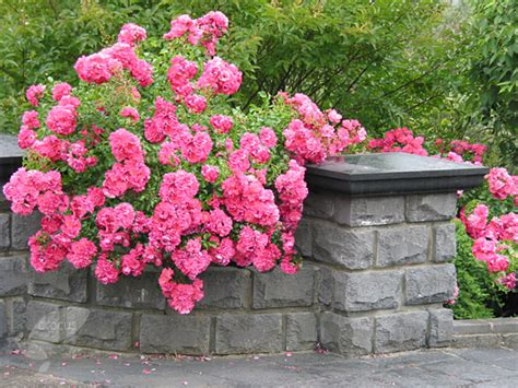 Buy Rose Pink Flower Carpet (ground Cover Rose) Rosa 'pink Flower Carpet ('noatraum') (pbr What Causes Carpet To Stretch Cleaners Mississauga Cleaning East Brunswick Nj Wilson Prattville Alabama City Carpets San Rafael Ca Madison How Figure For Steps American Masters Reviews