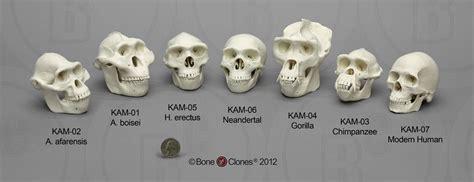 Set Of 7 Primate Skulls, 1