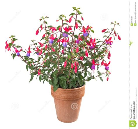 planting fuchsias in pots fuchsia plant stock image image of blossom bloom closeup 31125769