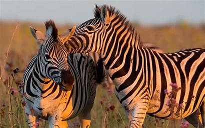 Zebra Theme Rare Wallpapers Plains Facts Backgrounds