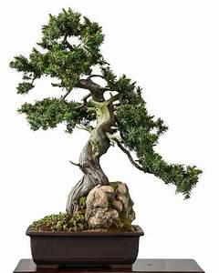 Bonsai Baum Garten : igelwacholder als bonsai bonsai b ume pinterest ~ Lizthompson.info Haus und Dekorationen