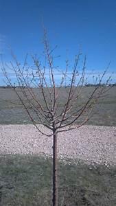 Pruning Apple Trees In Spring