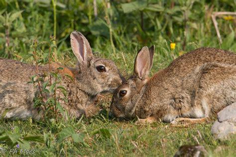 cuisiner le lapin de garenne lapin de garenne espèces nuisibles invasives