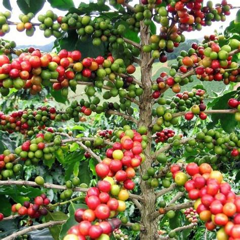The arabica coffee beans cannot grow on harsh climates. Arabica Coffee Bean Plant Garden Patio Indoor Outdoor Plant Easy to Grow for sale online