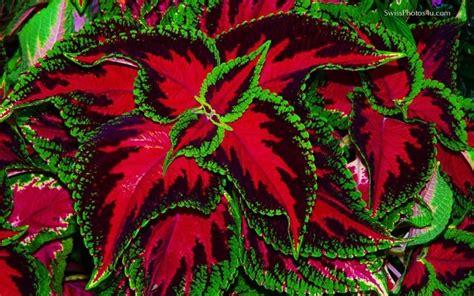 green coleus plant red and green coleus plant gardening pinterest