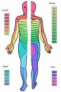 Upper Extremity Sensory Nerve Distributions