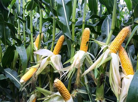 Thinking of growing maize in 2019? - Agriland.ie