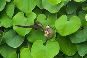 Immergrüne Kletterpflanzen Schattiger Standort : pfeifenwinde aristolochia pflege und vermehrung ~ Michelbontemps.com Haus und Dekorationen