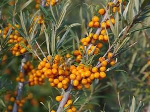 Sanddorn Pflanzen Kaufen : sanddorn 39 dorana 39 hippophae rhamnoides 39 dorana 39 baumschule horstmann ~ Watch28wear.com Haus und Dekorationen