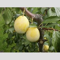 Apricotmirabelle Aprimira For Sale  Buy Prunus Armeniaca