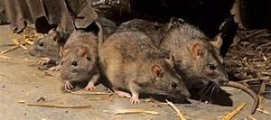 Comment Se Debarrasser Des Rats : comment faire lorsque les rats s 39 invitent chez vous ~ Melissatoandfro.com Idées de Décoration