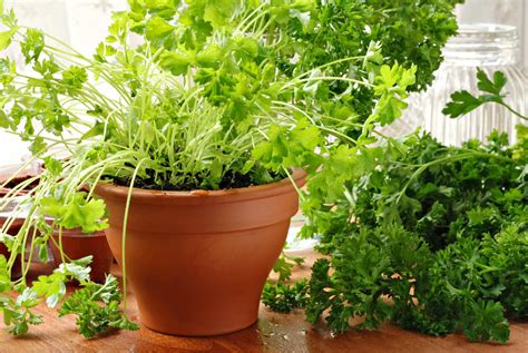 prezzemolo in vaso come coltivare il prezzemolo in vaso non sprecare