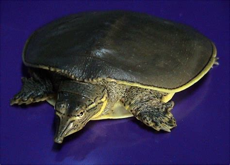Heat Ls For Water Turtles by Zoo Animals Softshell Turtle