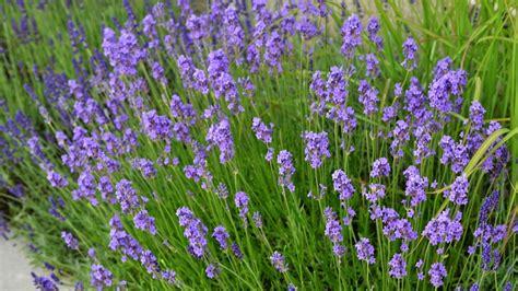 Bilder Mit Lavendel by Lavendel Das Blaue Duftwunder Mensch Natur Und Umwelt