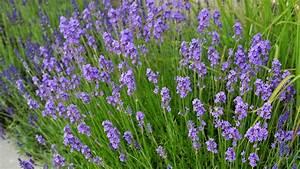 Pflege Von Lavendel : lavendel frankreich lavendel lavandula angustifolia ~ Lizthompson.info Haus und Dekorationen