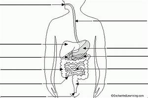 Human Digestive System Unlabeled Human Digestive System