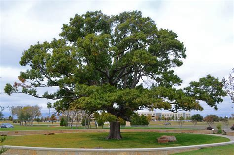 Tree Profiles Top Rated Shade Trees, Shumard Red Oak