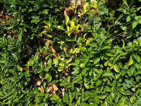 Kirschlorbeer Krankheiten Gelbe Blätter by Hat Ihr Kirschlorbeer Braune Bl 228 Tter Nach Dem Winter