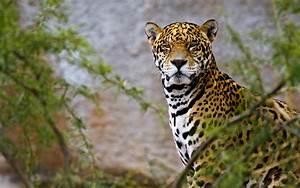 Jaguar Animal Wallpapers Jaguar Pictures Images 1080p