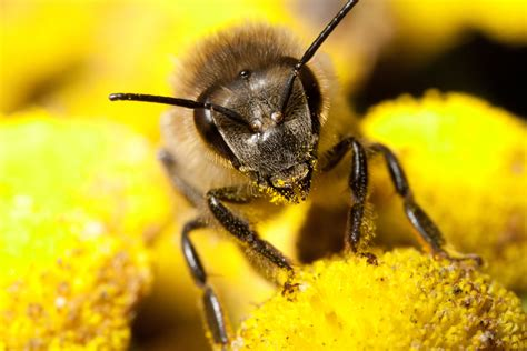 Images Of Bees How Many Flowers Can A Bee Pollinate Wonderopolis