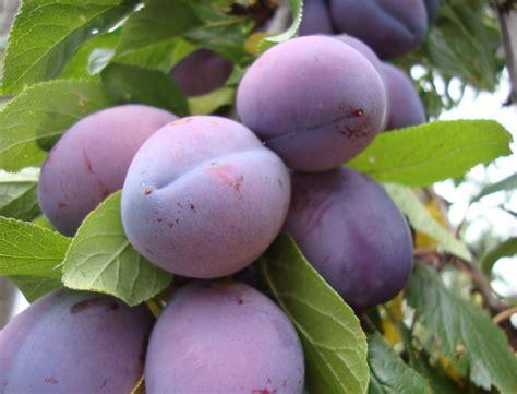 small purple plum danger garden plums