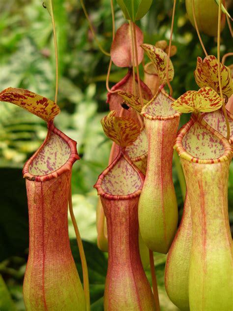 pitcher plant bog gardening minnesota gardener magazine enewsletter