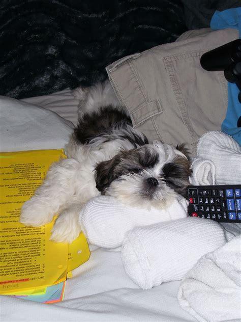 Homework tires me!   Shih tzu puppy, Shih tzu dog, Puppy mom