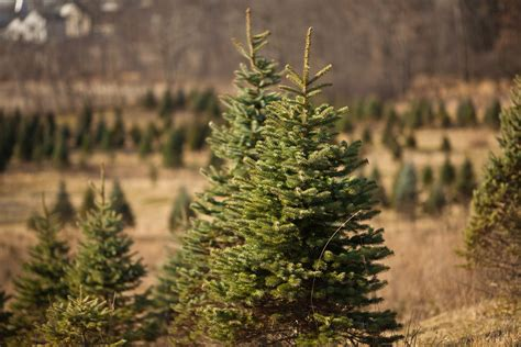 michigan christmas tree farms the awesome mitten