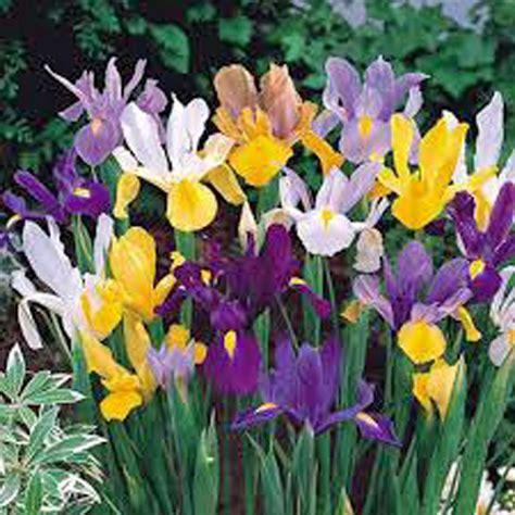 iris bulbs images