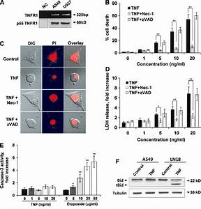 Tnf Induces Necroptosis In A549 Cells  A Expression Of P55 Tnfr1 Mrna