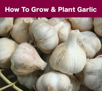 how to grow and plant garlic homestead survival