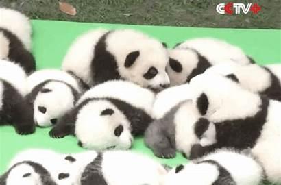 Pandas Panda Confused Zoo Adorable Babies Sleepy