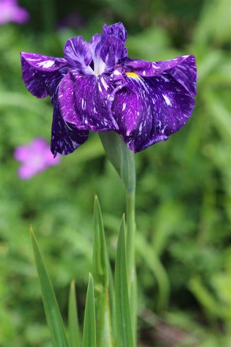 50 best japanese irises images on japanese