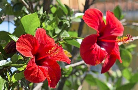 hibiskus im winter chinesischer hibiskus exotischer dauerbl 252 wissen stuttgarter nachrichten