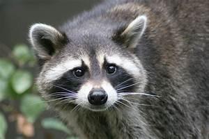 Raccoon Removal Macomb County Michigan