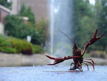 Shrimp Funny Gonna Wallpapers Hate Lobsters Animals