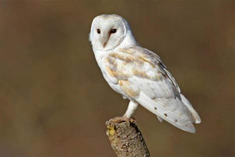 Amazing Facts About Barn Owls