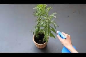 Orchideen Klebrige Blätter : video echter mehltau bek mpfung ohne chemie ~ Whattoseeinmadrid.com Haus und Dekorationen