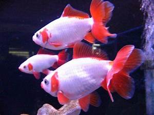 japanese jikin goldfish | Age of Aquariums | Pinterest