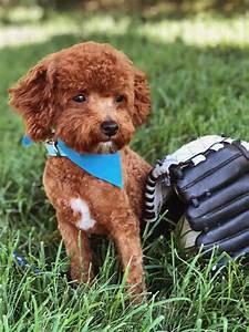 Teacup Goldendoodle & Mini Goldendoodle Puppies for sale ...
